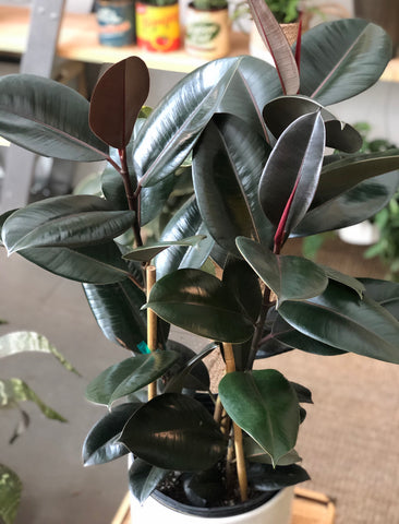 "Ficus Elastica Burgundy Tree (Rubber Tree) 10"" Pot"
