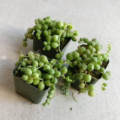 String Of Pearls Plants Succulents