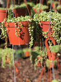"String of Pearls 6"" Pot"