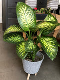 "Large Dumbcane 8"" pot"