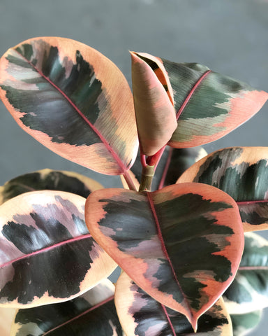 "Ficus Elastica Ruby Tree (Rubber Tree) 6"" pot"