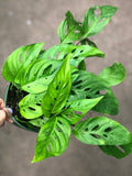 Awesome Monstera Adansonni / Swiss Cheese /Vine plants