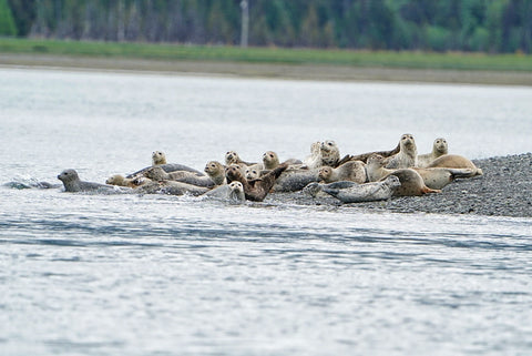Seals in Alaska with Dan M Lee and Outex