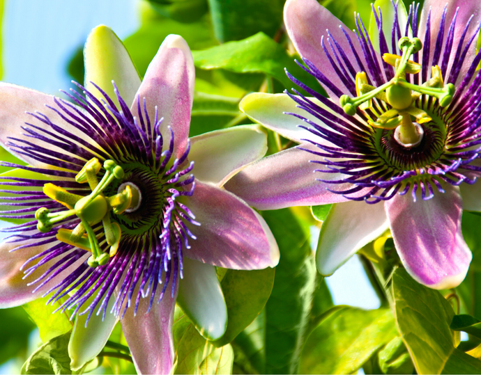 How to Beat Stress with This One Delicious Herb (*Hint It's Passionflower)