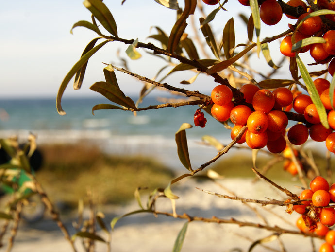 Sea Buckthorn Berry Benefits: 9 Reasons to Try This Healthy Fruit
