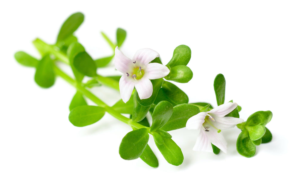 bacopa plant on white background