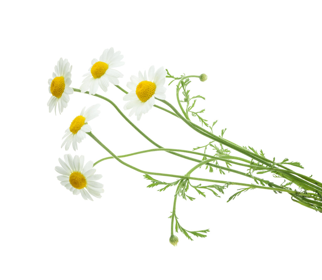 boquet of chamomile flowers