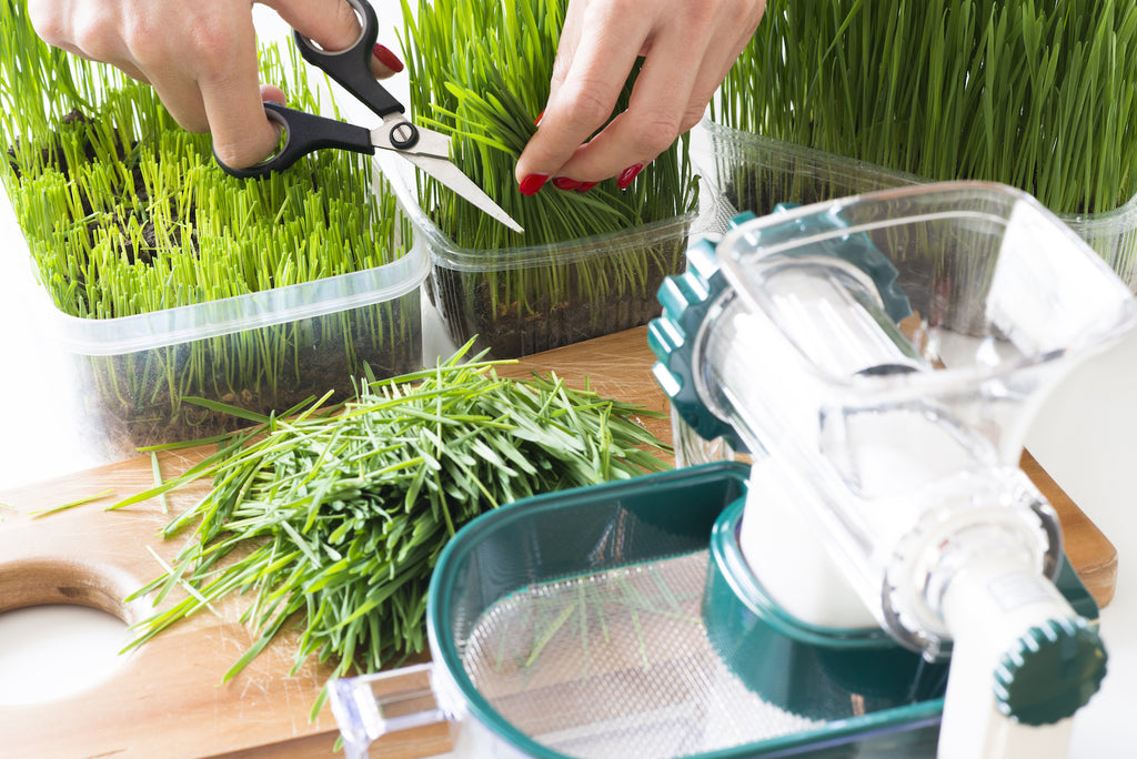 make wheatgrass juice from raw plant at home