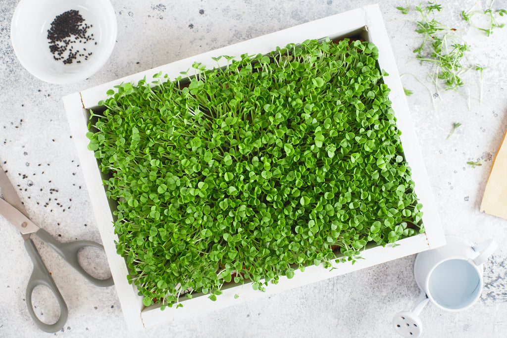 micro greens growing in a kitchen on a white table