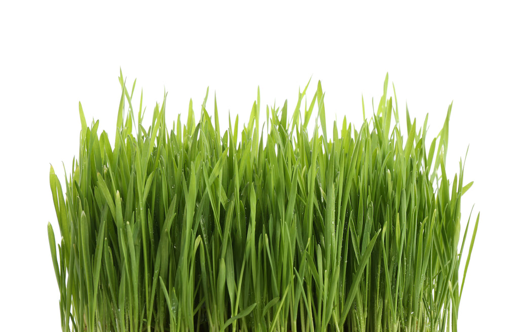 wheatgrass growing on a white background