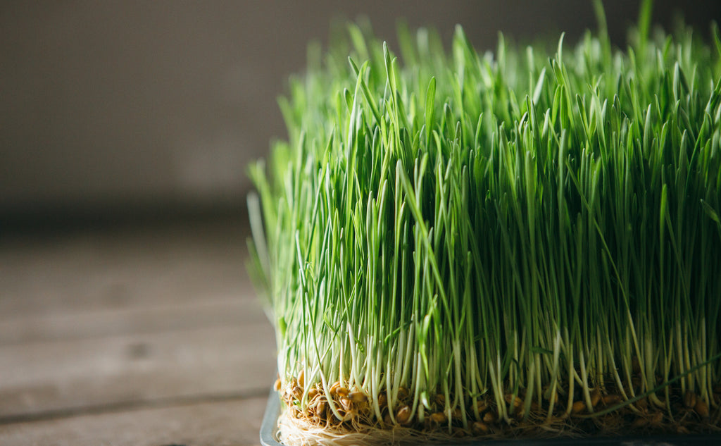 wheatgrass closeup with wooden background
