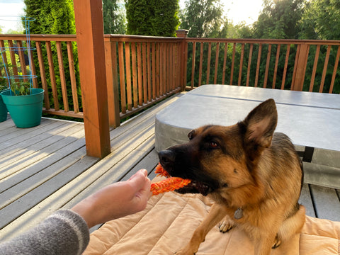 Blitzen the German Shepherd Playing with Toxic-Free Twisted Cotton Rope in Orange