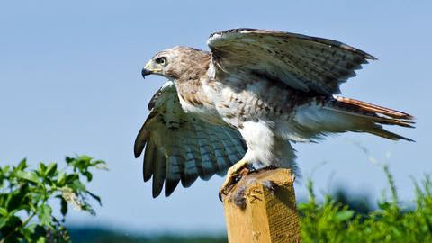 A hawk perched on a wooden pole with its wings spread.