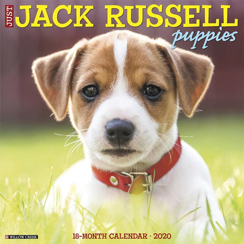 Just Jack Russell Puppies 2020 Wall Calendar Front Cover