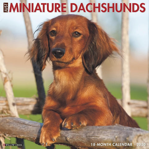 Just Miniature Dachshunds 2020 Wall Calendar Front Cover