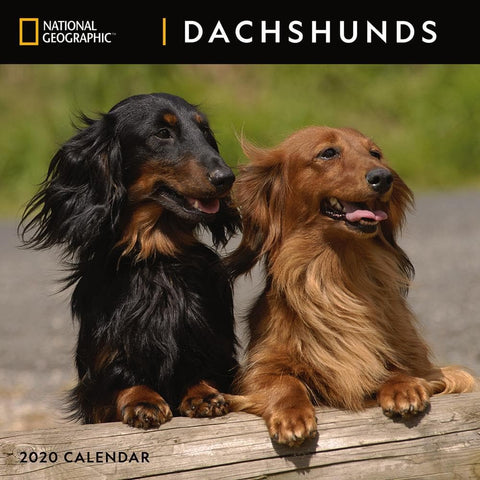 Dachshunds NG 2020 Wall Calendar Front Cover
