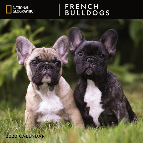 French Bulldogs NG 2020 Wall Calendar Front Cover