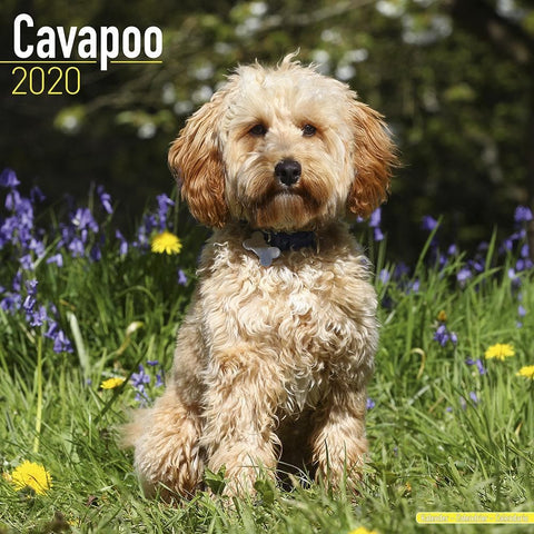 Cavapoo 2020 Wall Calendar Front Image