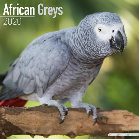 African Greys 2020 Wall Calendar Front Cover