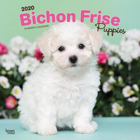 Bichon Frise Puppies 2020 Wall Calendar Front Cover