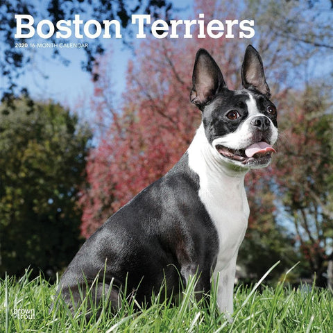 Boston Terriers 2020 Wall CalendarFront Cover
