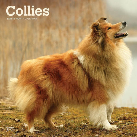 Collies 2020 Wall Calendar Front Cover