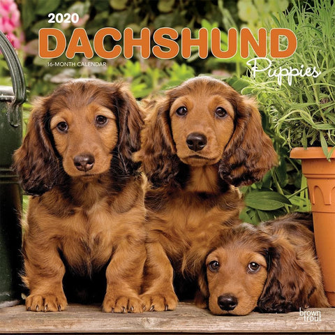 Dachshund Puppies 2020 Wall CalendarFront Cover