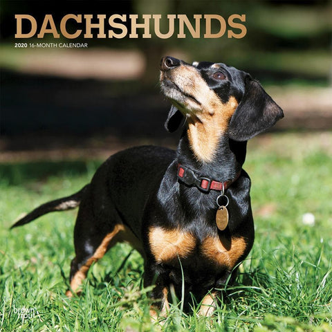 Dachshunds 2020 Wall Calendar Front Cover