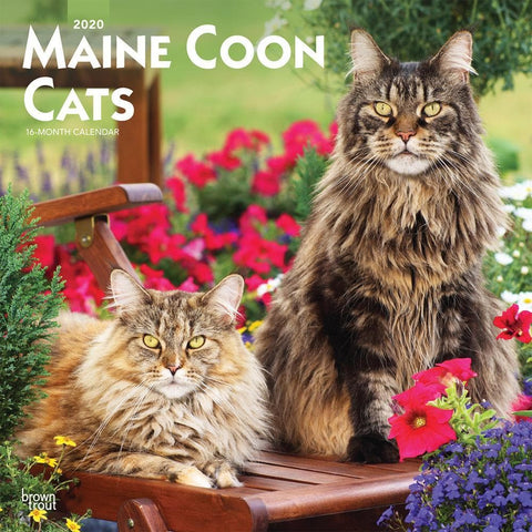 Maine Coon Cats 2020 Wall Calendar Front Cover