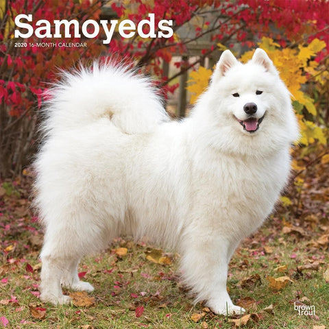 Samoyeds 2020 Wall Calendar Front Cover