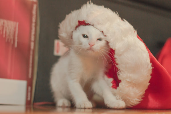 White Kitten wearing a Santa Hat.