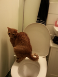 Toffee the toilet trained cat