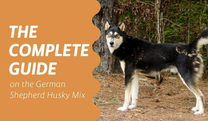 The Ultimate Guide to the Australian Shepherd Husky Mix