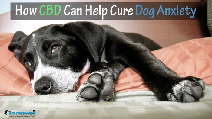 Hemp Oil for Anxiety in Dogs