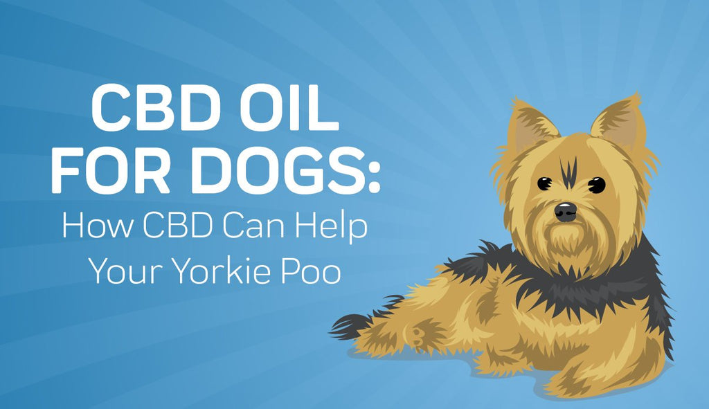 CBD Oil for Dogs: How CBD Can Help Your Yorkie Poo