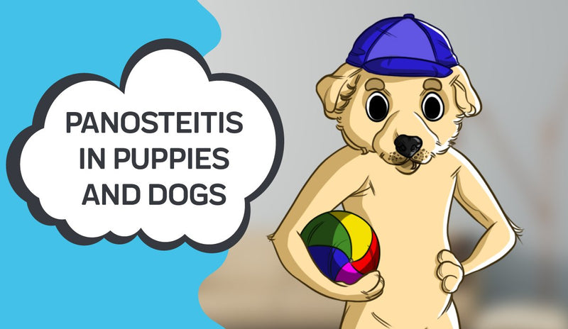 Panosteitis In Puppies and Dogs