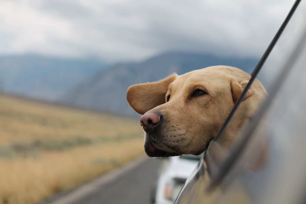 5 Great Dog Breeds for Travelers