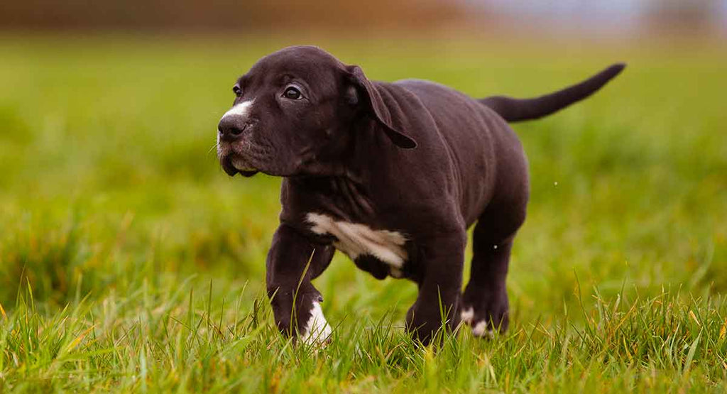 Must Know Things About Great Dane Lab Mix Breed