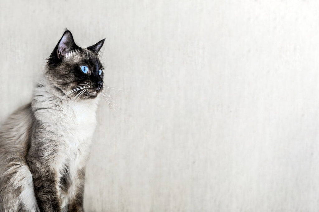 The Ragdoll Cat — Amazing Facts About This Popular Cat Breed