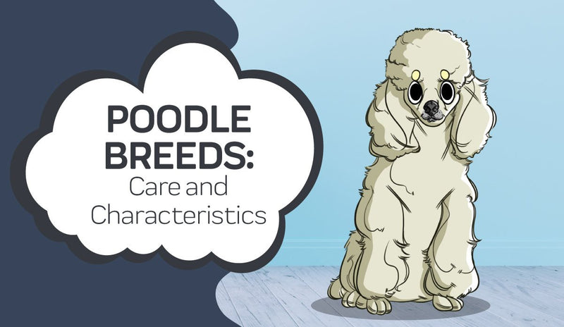 Poodle Breeds: Poodle Care and Characteristics