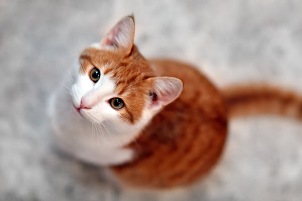 CBD - An Effective Solutions for Cats with Anxiety - Innovet