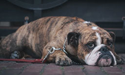 Study Says Smartphones Contribute Depression In Dogs