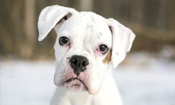 myths about white boxer