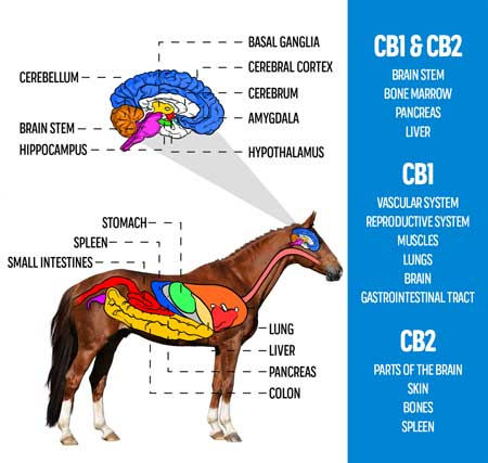 How Can CBD Help my Horse