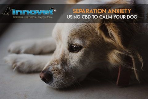 Dog Separation Anxiety: Using CBD To Calm Your Dog — Innovet