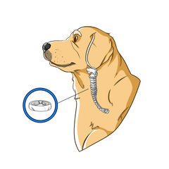 Collapsed Trachea In Dogs | Innovet Pet