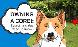 Everything You Need To Know About Owning A Corgi
