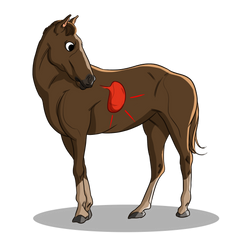 Gastric Ulcers in Horses | Innovet Pet