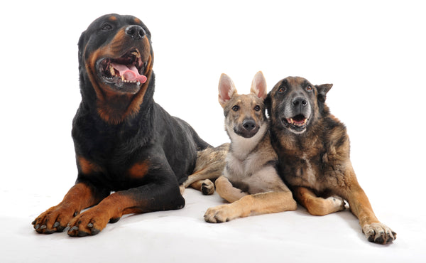 CBD For Senior Dogs - InnoVet Pet