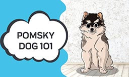Pomsky Dog 101 - Everything You Need to Know